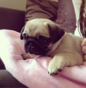 DanTDM's baby pug